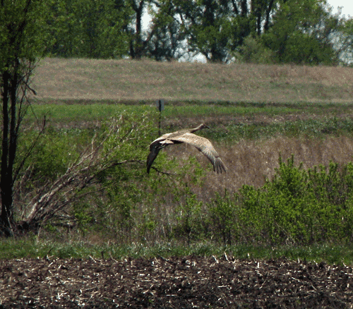 A Sandhill crane in flight over the easternmost portion of the Chichaqua wetlands complex.